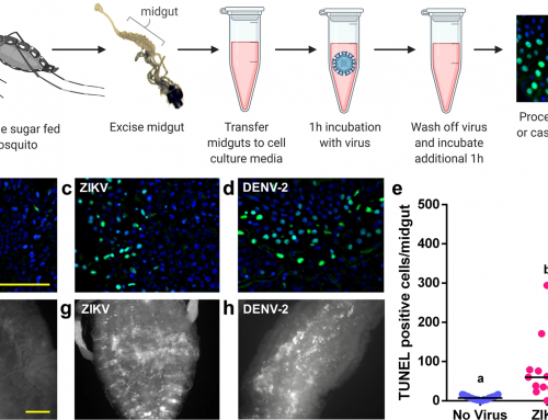 Clustered Rapid Induction of Apoptosis Limits ZIKV and DEN-2 Proliferation in the Midguts of Aedes aegypti   Communications Biology